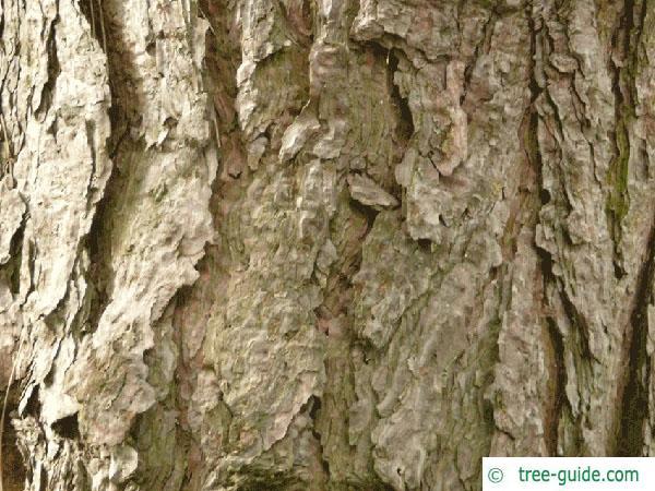 scotch pine (Pinus sylvestris) trunk