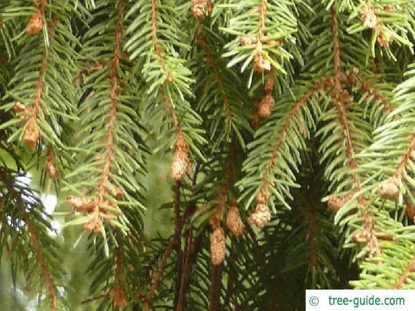 serbian spruce (Picea omorika) branch tips