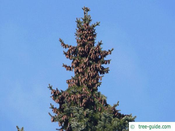 serbian spruce (Picea omorika) tree tip