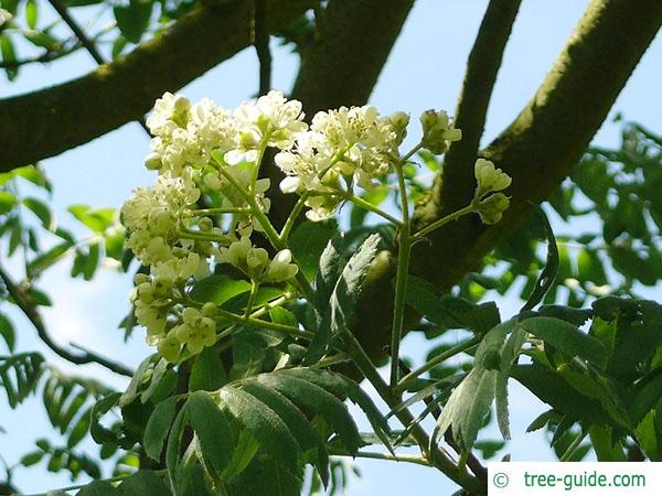 service tree (Sorbus domestica) flower