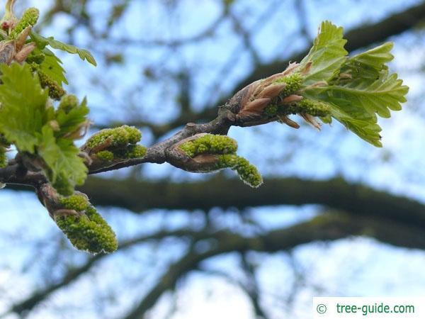 sessile oak (Quercus petraea) budding in spring