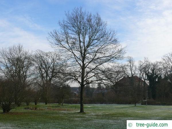sessile oak (Quercus petraea) tree