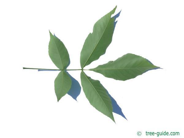 shagbark hickory (Carya ovata) leaf underside