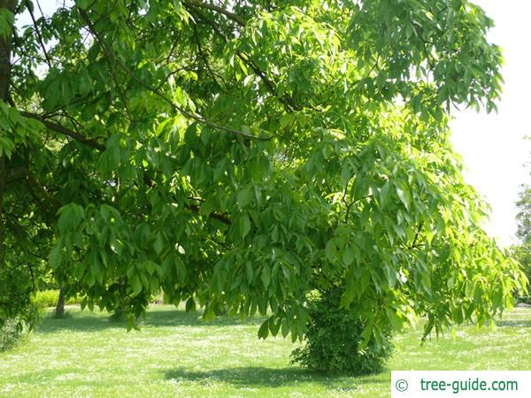 shagbark hickory (Carya ovata) leaves