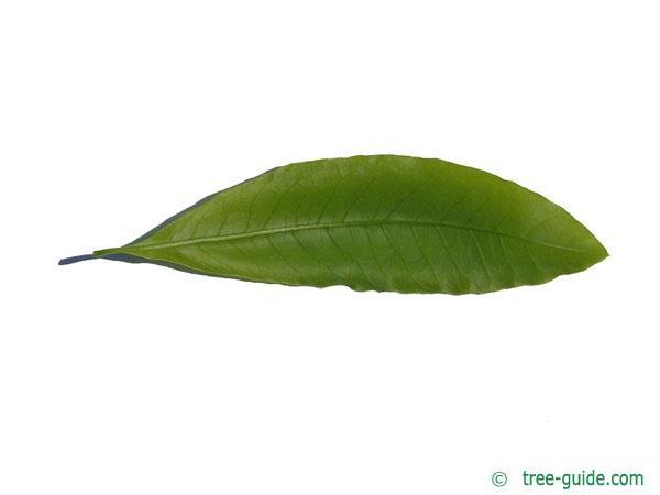 shingle oak  (Quercus imbricaria) leaf underside