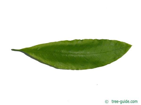 shingle oak  (Quercus imbricaria) leaf leaf