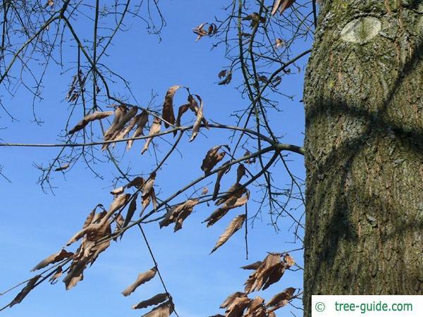 shingle oak  (Quercus imbricaria) foliage in winter
