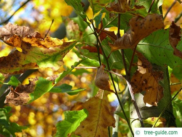 shumard oak (Quercus shumardii) in autumn