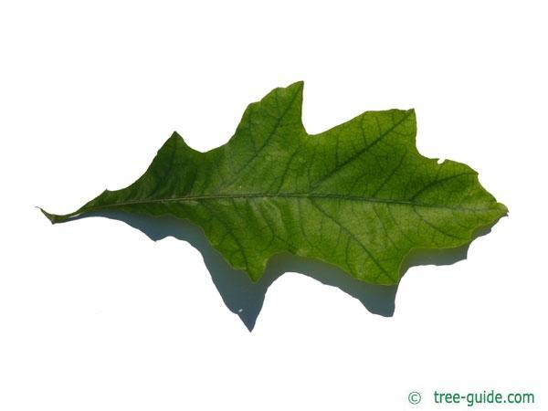shumard oak (Quercus shumardii) leaf