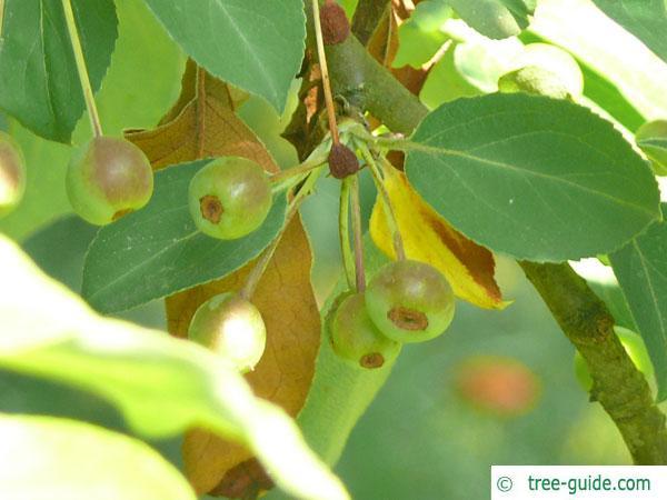 siberian crab apple (Malus baccata) apple (fruit)