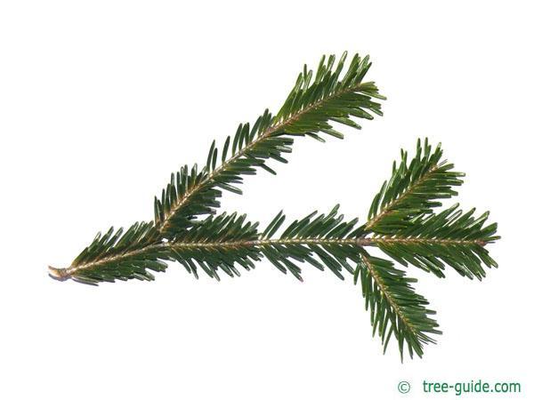 silver fir (Abies alba) needles branch