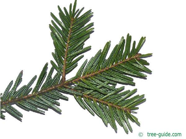 silver fir (Abies alba) needles underside