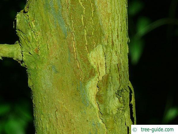 silver dollar gum (Eucalyptus polyanthemos) trunk / bark