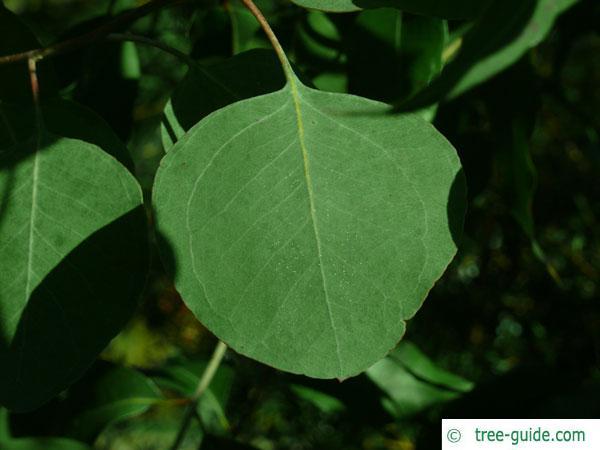 silver dollar gum (Eucalyptus polyanthemos) leaf