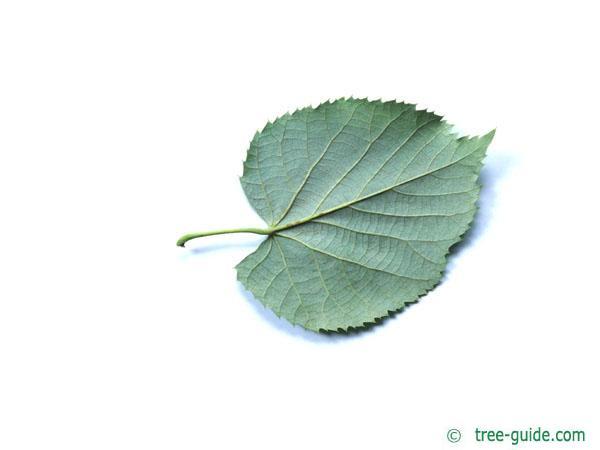 silver lime (Tilia tomentosa) leaf underside