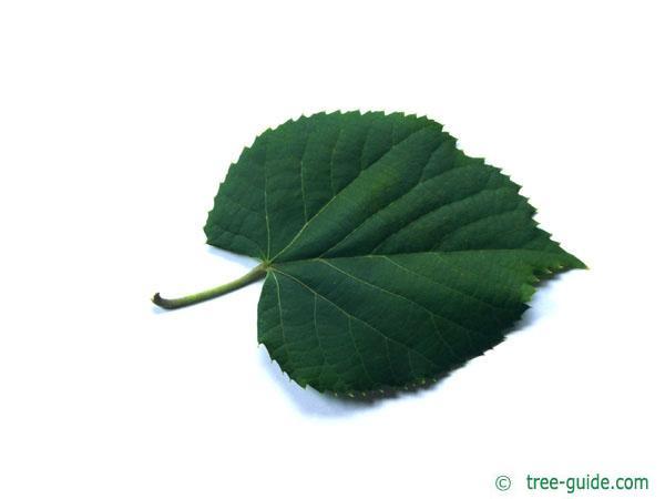 silver lime (Tilia tomentosa) leaf