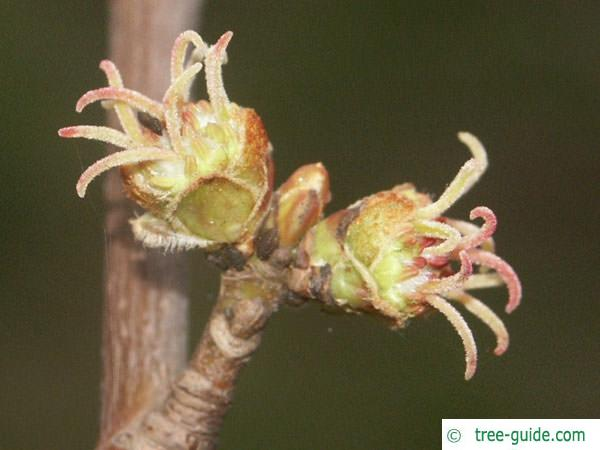 silver maple (Acer platanoides) flowers