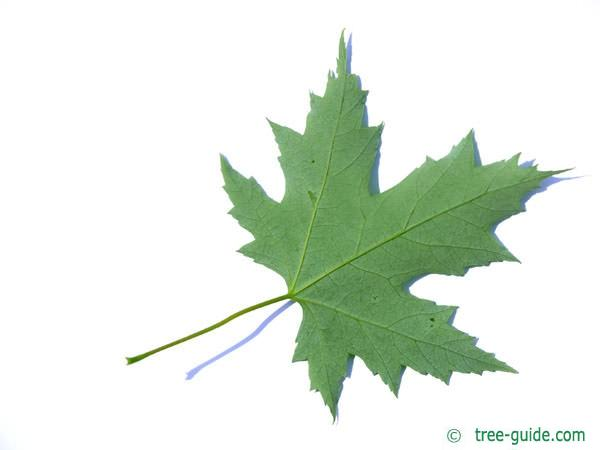 silver maple (Acer platanoides) leaf underside