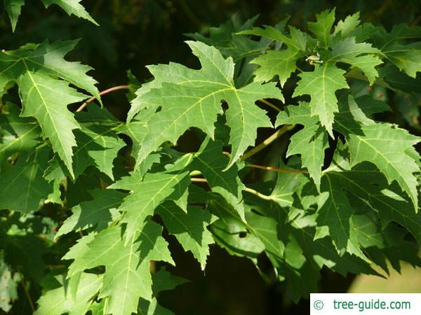 silver maple (Acer platanoides) leaves in summer