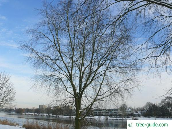 silver maple (Acer platanoides) tree in winter