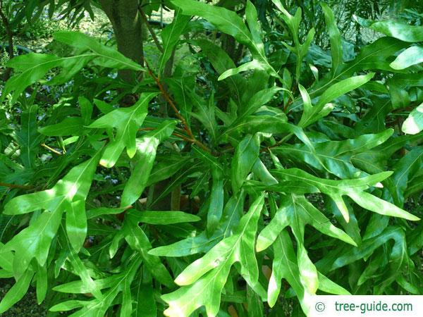 silky oak (Grevillea robusta) leaves