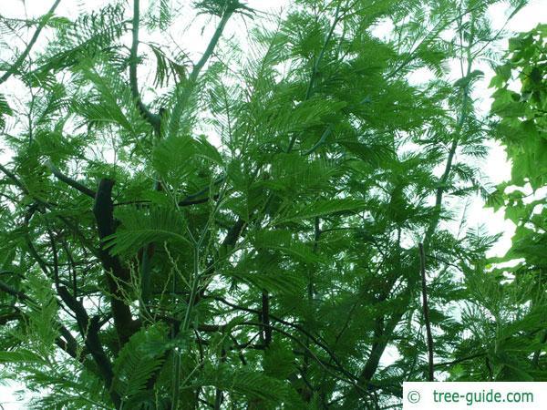 silver wattle (Acacia dealbata) older crown