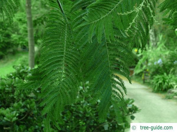 silver wattle (Acacia dealbata) older leaves