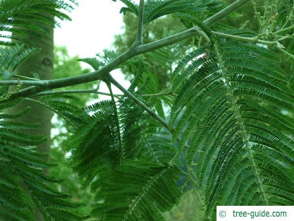 silver wattle (Acacia dealbata) branch