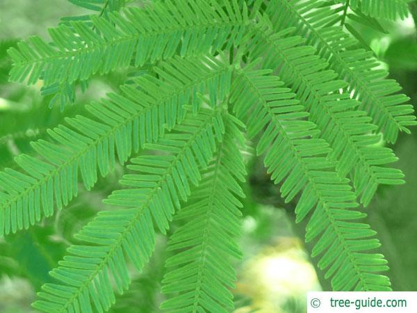 silver wattle (Acacia dealbata) leaf