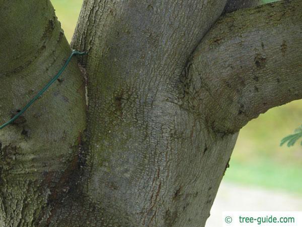 silver wattle (Acacia dealbata) older trunk / bark