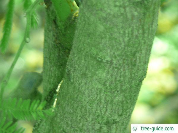 silver wattle (Acacia dealbata) trunk