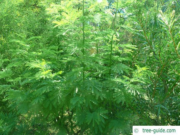 silver wattle (Acacia dealbata) young tree