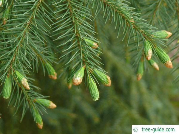 sitka spruce (Picea sitchensis) branch