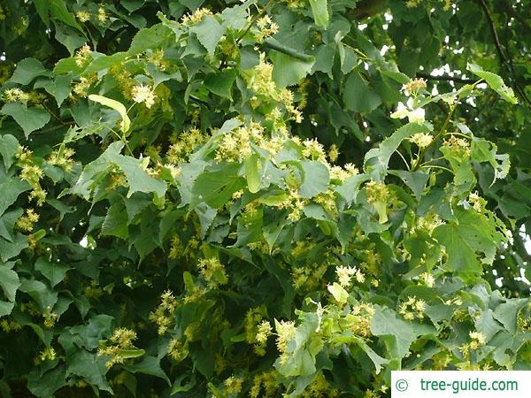small leaved lime (Tilia cordata) flowers