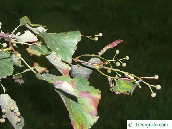 small leaved lime (Tilia cordata) foliage and fruits