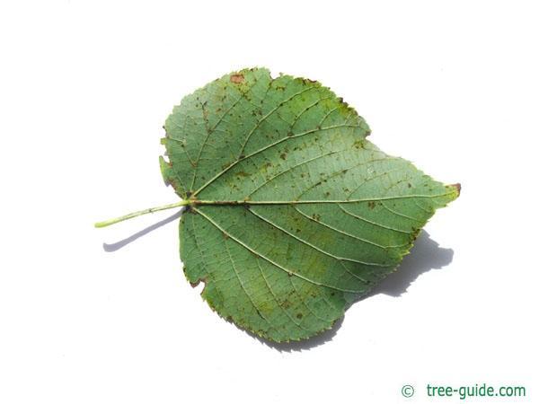 small leaved lime (Tilia cordata) leaf underside