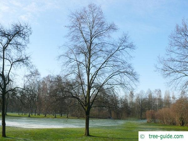 small leaved lime (Tilia cordata) tree in winter
