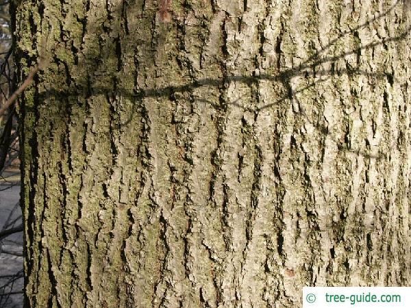 small leaved lime (Tilia cordata) trunk / bark