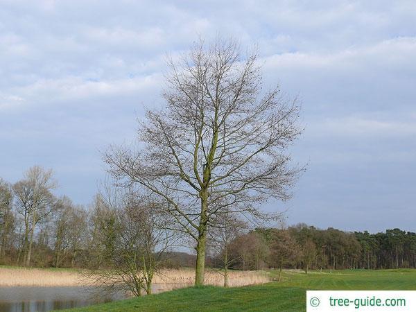 Spaehts alder (Alnus spaethii) in Winter