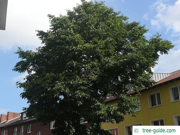 spaehts alder (Alnus spaethii) crown in summer