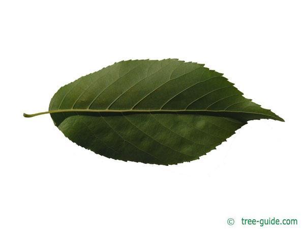 spaeths alder (Alnus spaethii) underside of leaf