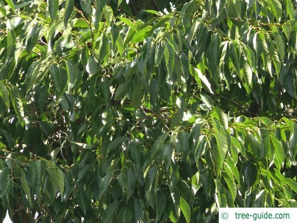 spaehts alder (Alnus spaethii) leaves