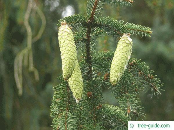 spruce cone (Picea abies 'Acrocona') young cones