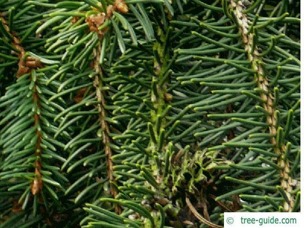 spruce cone (Picea abies 'Acrocona') needle