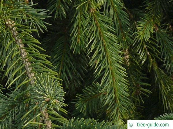 spruce cone (Picea abies 'Acrocona') needles