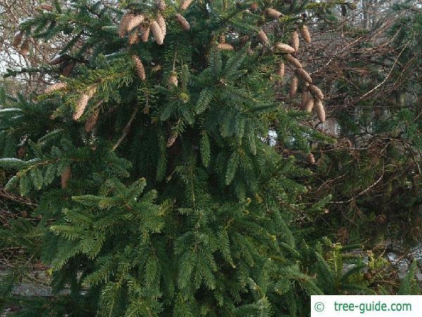 spruce cone (Picea abies 'Acrocona') tree