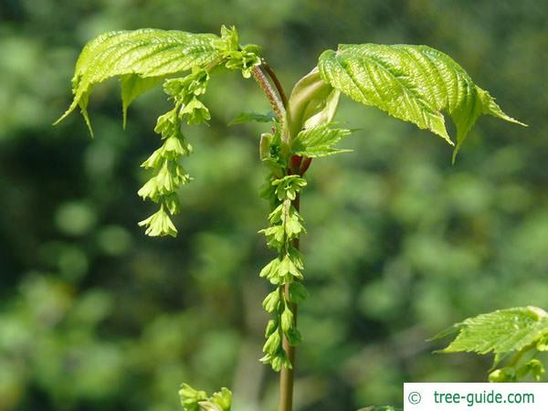 striped maple (Acer pensylvanicum) bud
