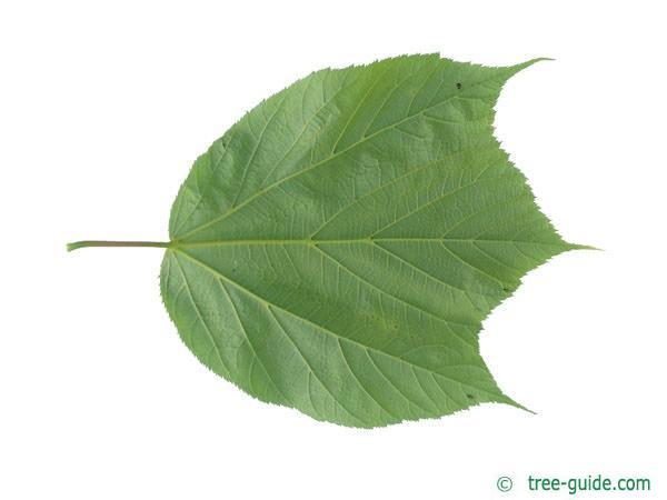striped maple (Acer pensylvanicum) leaf underside