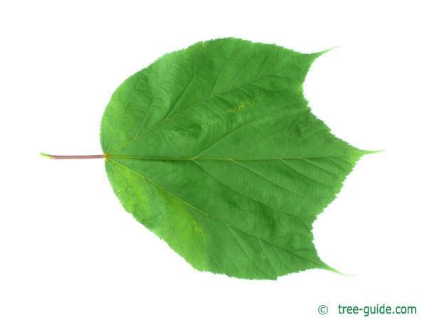 striped maple (Acer pensylvanicum) leaf