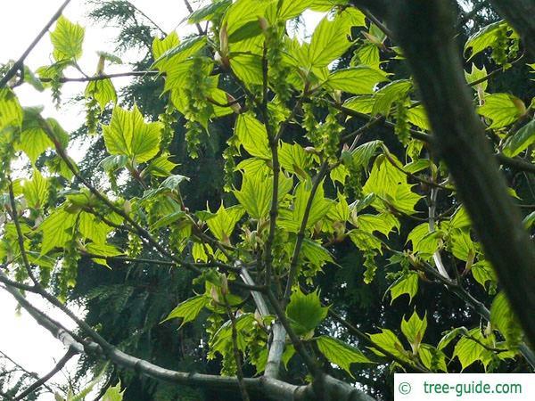 striped maple (Acer pensylvanicum) leaves